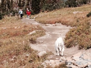 Mountain goats like the people trails too.