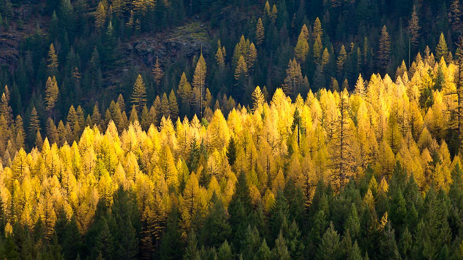 Golden hue of the tamarack trees.