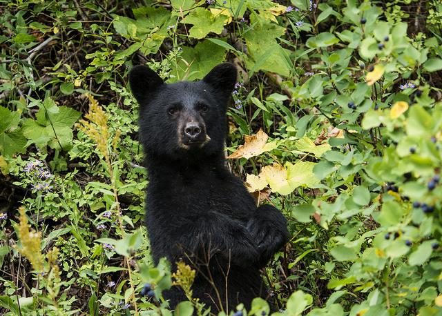 Curious black bear (Photo credit: Tim Rains - NPS)