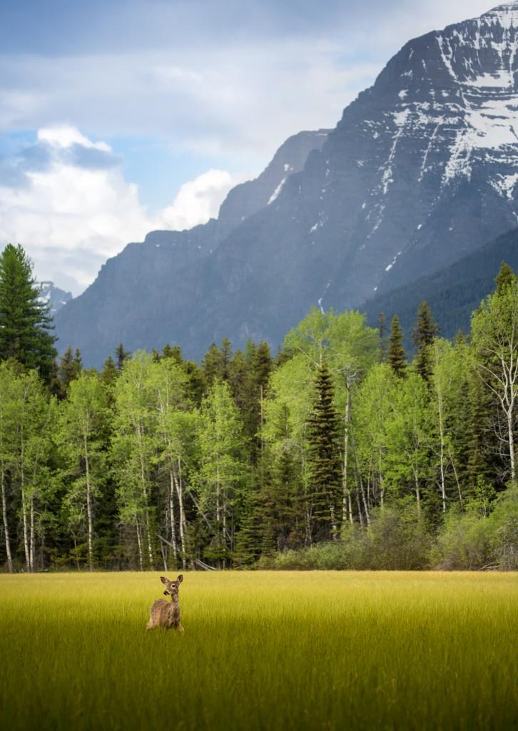 A favorite hangout for wildlife near Bowman Lake in Glacier National Park (Photo credit: Nicholas Parker)