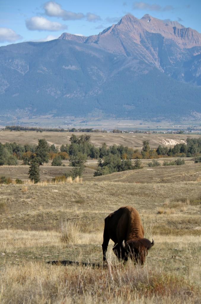 Bison grazing on the National Bison Range (Photo credit: Stefanie Nordberg)