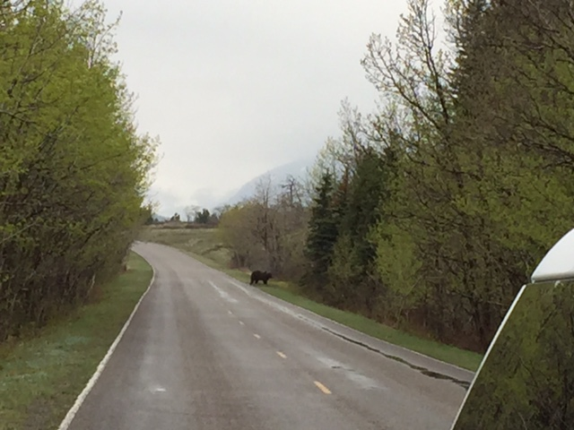 Last spring, we saw this grizzly crossing the road in Many Glacier.