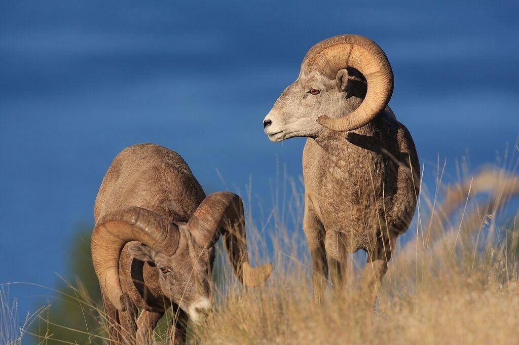 Bighorn sheep graze on Wild Horse Island.