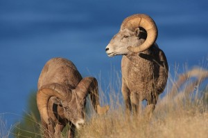 Bighorn sheep graze on Wild Horse Island.