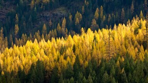 Tamarack trees in autumn.