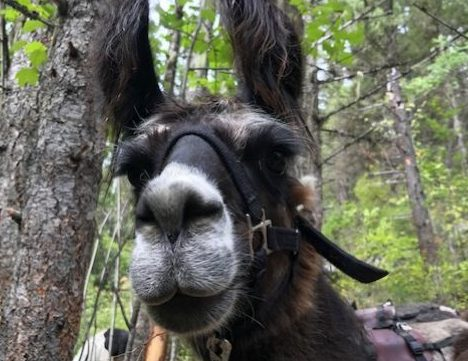 Llama Trekking Is One of the Most Unique Hiking Trips You Will Ever Take